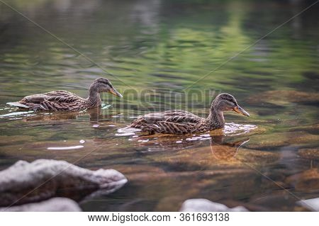 Two Wild Ducks Swim On The Lake In The Mountains, Brown And Grey Birds On The Water