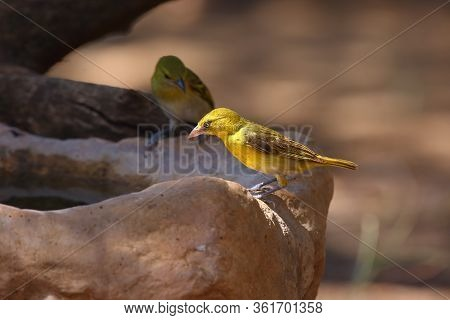 Holub's Golden Weaver (ploceus Xanthops), Also Called The African Golden Weaver Sitting At The Water