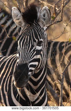 Detail Of Black And White Head Of Plains Zebras (equus Quagga, Formerly Equus Burchellii)