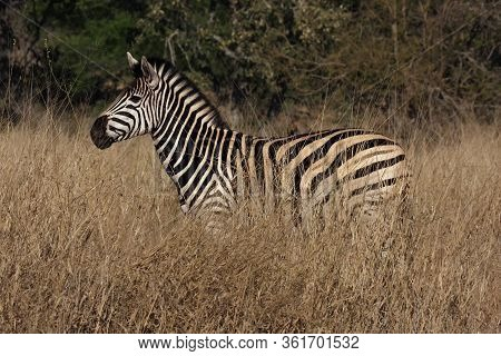 The Plains Zebra (equus Quagga, Formerly Equus Burchellii) Standing In High, Dry And Yellow Grass In