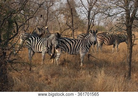 The Herd Of Plains Zebras (equus Quagga, Formerly Equus Burchellii) Standing In High, Dry And Yellow
