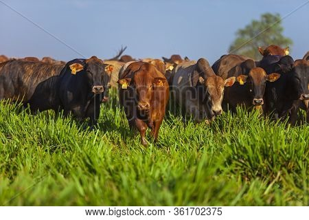Beautiful Herd Of Bonsmara Cattle From South Africa