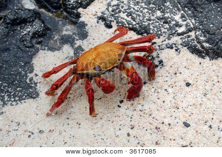 Red Crab Galapagos
