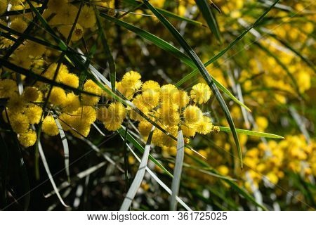 Blossoming Of Mimosa Tree (acacia Pycnantha,  Golden Wattle) Close Up In Spring, Bright Yellow Flowe