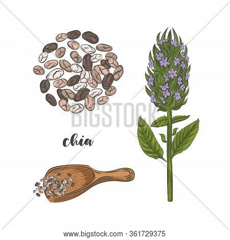 Chia Plant And Seeds Hand Drawn Sketch. Blooming Chia Plant Isolated On White Background. Chia Seeds