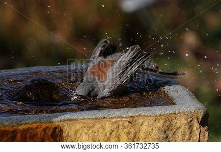A Red Backed, Dark Eyed Junta Takes A Refreshing Bath In A Stone Fountain.