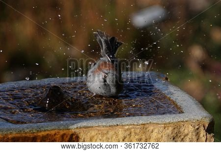 A Dark Eyed Junta Enjoys The Cool Water Of A Stone Fountain On A Hot Afternoon.