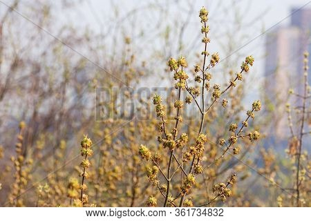 View On Blooming Fraxinus Excelsior, Known As Ash, Or European Ash Or Common Ash. Spring Season In M
