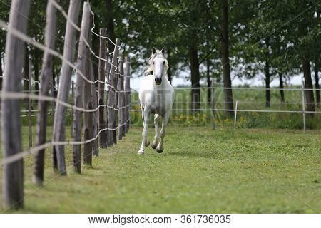 Grey Colored Purebred Andalusian Horse With Long Mane Galloping Across Green Pasture