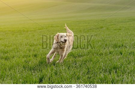 Lovely dog with stick running on green field