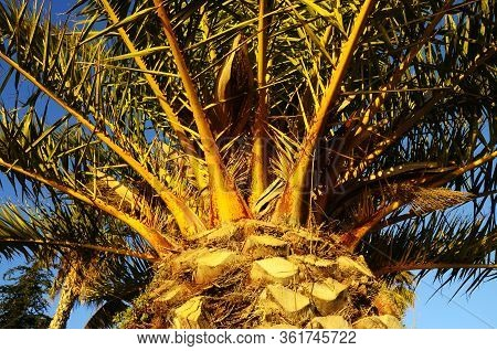 Close Up Of Date Palm Tree In Sunset Light, Bandol, France