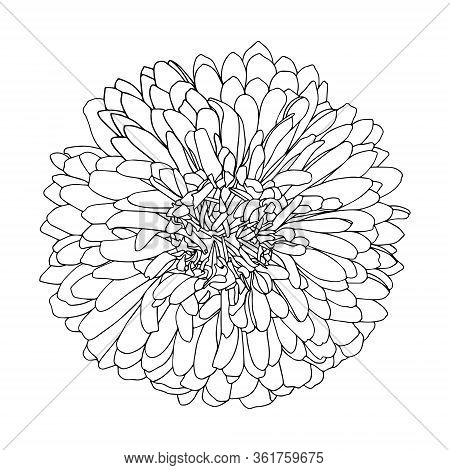 A Blossoming Bud Of Aster Or Chrysanthemum In Doodle Style. Black-white Vector Illustration. Floral