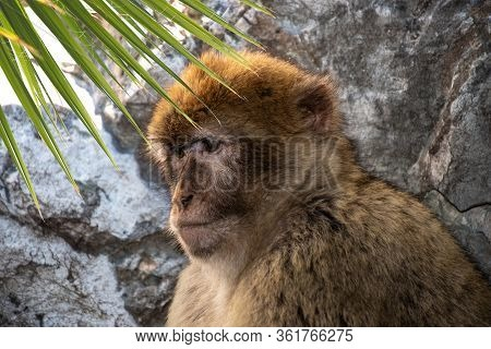 Barbary Macaque - Macaca Sylvanus Also Barbary Ape Or Magot, Found In The Atlas Mountains Of Algeria