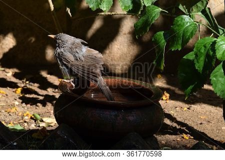 Jungle Babbler Bird (turdoides Striata) Enjoying Bathing In Clay Pot, Drenched In Water On A Sunny D