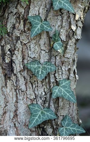 Ivy leaves on tree trunk in the garden.Hedera helix, common ivy, English ivy, European ivy evergreen foliage.