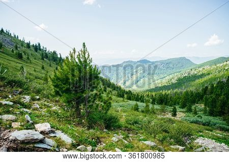 Beautiful Small Young Cedar On Hillside On Background Of Great Mountains. Awesome Alpine Landscape W