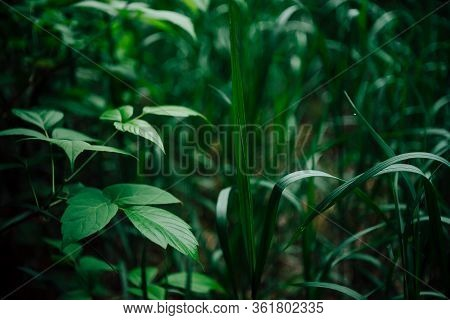 Vivid Green Leaves Of Ash Maple And Blade Of Grass On Bokeh Background. Green Grass And Twigs With L