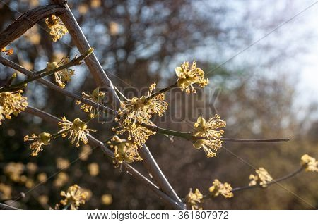 Blossoms Of A Cornelian Cherry Or Cornus Mas In Evening Sunlight