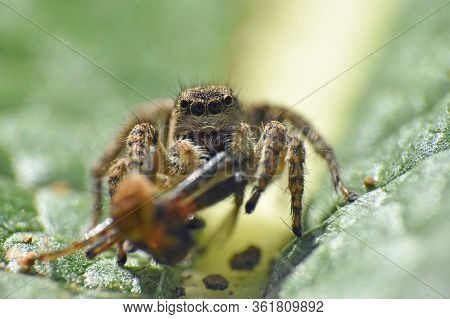 Jumping Spider With A Prey, Lovely Big Eyed Jumping Spider Catch And Eat Another Spider