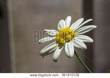 Bouquet Of White Camomile On A Gray Background Camomile On Gray Background