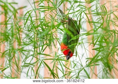 A Red Head Parrot Finch With Green Feathers And A Red Breast Hanging Upside Down On A Green Plant Wi