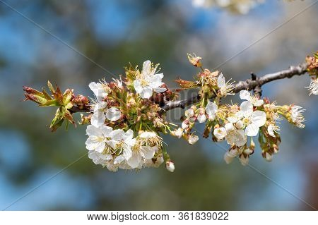 Detail Of Globular Bunch Of Florets Of Cherry Tree. Flower Ball With White Petals. Branch Of Fruit T