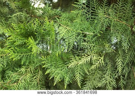 Evergreen Shrubs, Rarely Very Large Trees Up To 70 M Tall. Thuja Plicata. Thuja Occidentalis, Also K