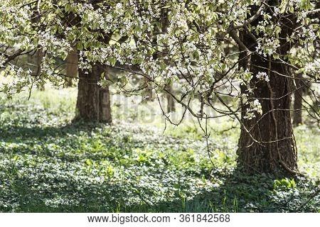 Flowering Tree In Arboretum Tesarske Mlynany, Slovak Republic. Seasonal Natural Scene.