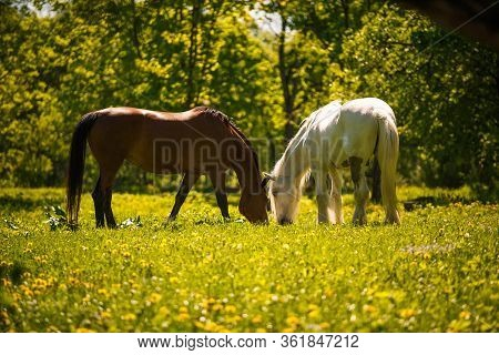 A White Horse With A Beautiful Long Mane Grazing In A Meadow. The Horse Bowed Its Head And Graceful