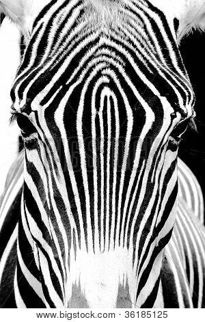 Detalle de Cebra muy contrastada