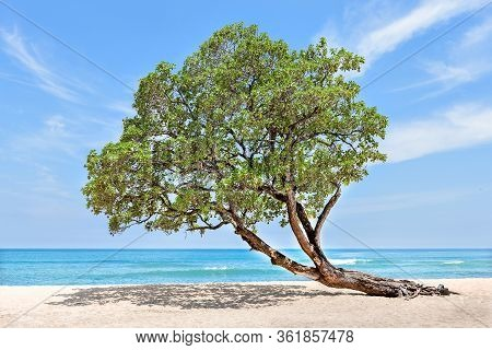 Huge And Green Tree At The Beach Side Bend Over To The Sand Under Blue Sky Which Looks Like A Horizo