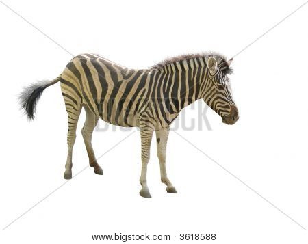 Zebra In A Zoo Isolated Over White Background