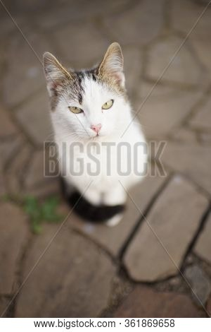 White Cat Is Sitting On A Road Of Wild Stone. Relaxing Pet Portr