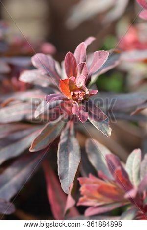 Wood Spurge Purpurea Leaves - Latin Name - Euphorbia Amygdaloides Purpurea