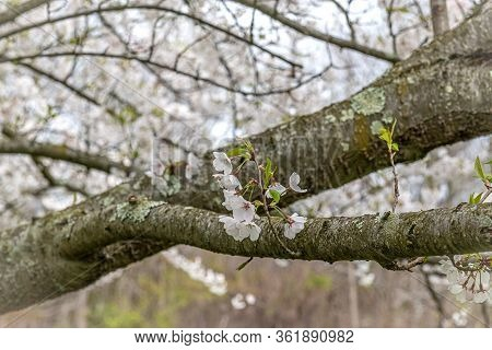 A Close-up Of The Capital Pear Blossoms On This Tree Branch.