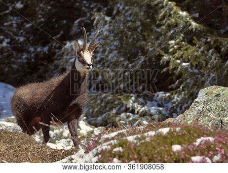 Alpine Chamois Or Rupicapra Rupicapra With Spring Flowers And Melting Snow In Spring.