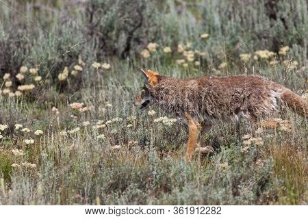 A Fluffy Coyote Walking Through A Field With Wildflowers And Brush At Grand Teton National Park, Wyo