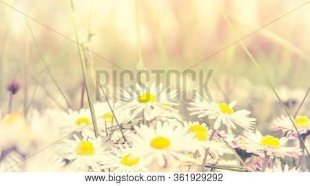 Romantic Wild Field Of Daisies With Focus On One Flower. Oxeye Daisy, Leucanthemum Vulgare, Daisies,