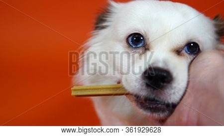 Close Up Of Beautiful White Spitz With Blue Eyes, Holding Treat In Mouth. Womans Hand Stroking Dogs
