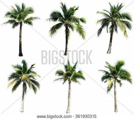 Group Of Coconut Tree Isolated On The White Background. The Collection Of Coconut Trees.perfume.