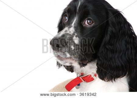 English springer spaniel puppy isolated on white poster