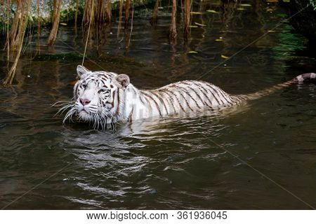 While Tiger While Swimming On River Water. White Tiger Or Bleached Tiger Is A Pigmentation Variant O