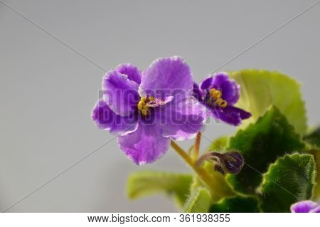 Purple Viola Or Violet Flower With Leaves On Gray Background