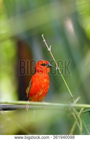 The Red Fody (foudia Madagascariensis) Seated On The Branch.little Red Weaver In Tropical Forest Wit