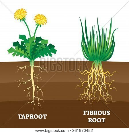 Taproot And Fibrous Root Example Comparison Vector Illustration Scheme. Educational Organic Plant Pa