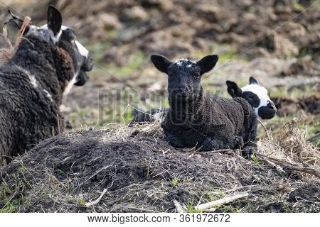 Young Black Sheep, Lamb Lies In The Sand, In The Background A Black Lamb With A Lot Of White, Lookin