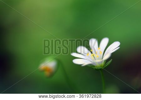 Blossoming Stellaria Plant With White And Yellow Flower From Pink Family Or Carnation Family (caryop