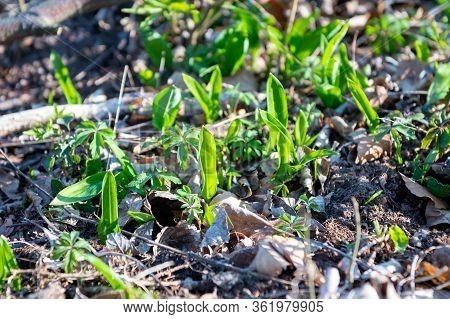 Wild Garlic (allium Ursinum) Known As Ramsons, Buckrams, Wild Garlic, Broad-leaved Garlic, Wood Garl