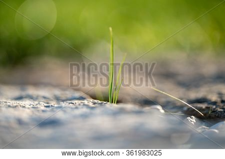 Detail Of Green Grass Culm Plant In Grey Stones. Close Up Of Blades Grow In Between Stones And Rocks