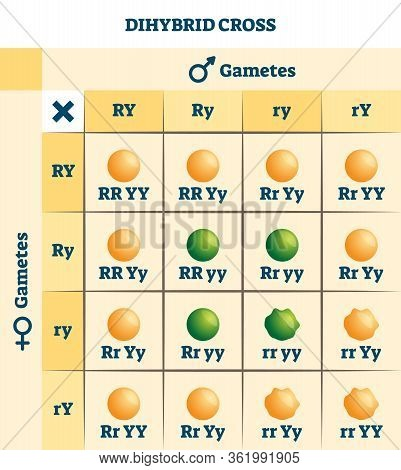Dihybrid Cross Vector Illustration. Labeled Educational Genetic Table Scheme. Information Filled Gam